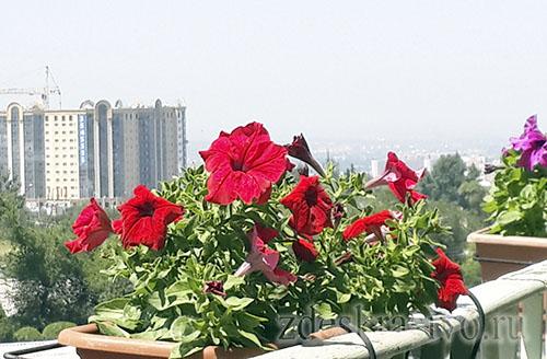 Petunii_na_balkone